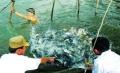 Hà Nam: Nuôi thâm canh cá rô phi trong ao đất