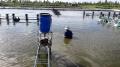 Tin thủy sản các tỉnh: Cá bổi gặp khó ở Cà Mau