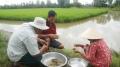 Bạc Liêu: hiệu quả mô hình nuôi tôm càng xanh trên ruộng lúa