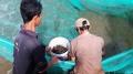 Thoát nghèo nhờ nuôi tôm càng xanh trên ruộng lúa