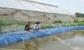 HTX Sông Hồng mạnh dạn nuôi tôm công nghệ vi sinh