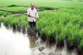Dự án nuôi tôm sú - trồng lúa ở Bạc Liêu
