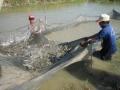 Phát triển nghề nuôi tôm trong điều kiện biến đổi khí hậu