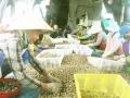 Vạn Ninh: Ốc hương rớt giá liên tục