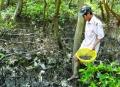 Cà Mau: Nuôi ốc len bảo vệ rừng
