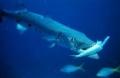 Nồng độ khí cacbônic trong nước cao làm cá khó phát hiện kẻ thù