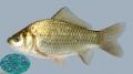 Probiotics Bacillus coagulans trên cá