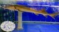 Probiotics cải thiện đường ruột cho cá tầm