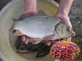 Quả chà là kích thích tăng trưởng của cá chép giống