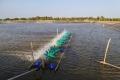 Quản lý ao khi nước đục và nước có tảo phát triển quá mức