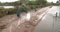 Phòng trị bệnh cho tôm nuôi trong mùa mưa