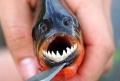Piranha - loài cá ăn thịt lạnh lùng và tàn khốc
