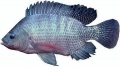 Phát hiện gen chịu mặn ở cá rô phi