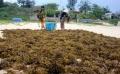 Nuôi trồng rong biển: Cần hướng đi phát triển bền vững