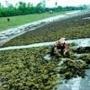 Phát triển bền vững nghề nuôi trồng rong biển