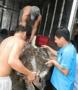 Cần ngăn chặn việc khai thác, mua bán rùa biển ở cảng Sa Kỳ