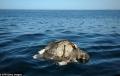 Bí ẩn cái chết hàng trăm con rùa biển