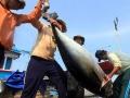 Khai thác cá ngừ đạt 14.901 tấn