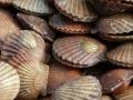 Canada: Hàng loạt sò chết do tăng nồng độ axit trong nước biển