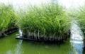 Thiết kệ hệ thống lắng, lọc nước bằng cá rô phi và cỏ rong