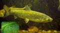 Lá chuối và lá ngô giúp bảo vệ da cá