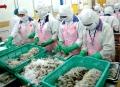 Tăng sản lượng, không tăng diện tích nuôi tôm