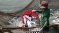 Không để xuất khẩu cá tra sang thị trường Hoa Kỳ bị gián đoạn