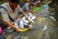 Lượng cá tra nguyên liệu sẽ thiếu hụt khoảng 30%