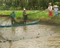 Huyện Trần Văn Thời thu hoạch được hơn 2.300 tấn cá bổi