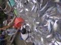 Cá tra nguyên liệu giảm hơn 2.500 đồng/kg