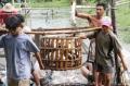 Nông dân tự nuôi cá tra sẽ gặp khó khi Farm Bill có hiệu lực