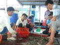 Khánh Hòa: Tôm hùm lại bị ép giá