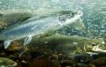 Côn trùng – nguồn thức ăn bền vững cho cá hồi