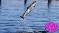 Cây kinh giới giúp cá vượt qua thách thức mầm bệnh