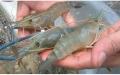 Đà Nẵng: Người nuôi tôm điêu đứng vì dịch bệnh
