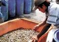 Đồng bằng sông Cửu Long: Thời tiết thất thường, tôm chết hàng loạt