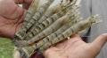 Ấn Độ thử nghiệm nuôi tôm sú sạch bệnh