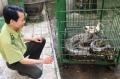 Vườn quốc gia Bạch Mã từ chối tiếp nhận cá thể trăn quý