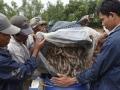 Trà Vinh: Giá tôm sú giống tăng mạnh do khan hiếm