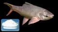 Trị nấm S. parasitica trên cá bằng fluconazole