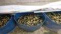 Mô hình trồng bèo Tai tượng kết hợp nuôi Ốc Bươu đen