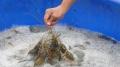 U Minh: Trúng đạm vụ nuôi tôm càng xanh xen canh trong ruộng lúa