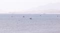 Ninh Thuận: Ngư dân trúng đậm tôm hùm giống