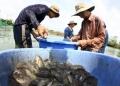 Giá rớt thê thảm, người nuôi cá ở Long An