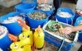 Thanh tra Bộ NN-PTNT và C49 bắt tay 'công phá' tôm tạp chất