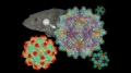 Chế tạo thành công vaccine chống lại Betanodavirus
