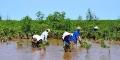 Quảng Ngãi: Ngăn biển xâm thực bằng vành đai xanh