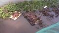 Nuôi ếch thương phẩm an toàn sinh học