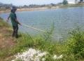 Cá nuôi tiếp tục chết hàng loạt khi dân dẫn nước từ kênh vào