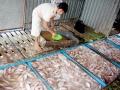 Lạc quan với vụ nuôi cá điêu hồng mới